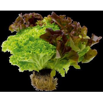 Belgien - EDEKA - Multicolorsalat